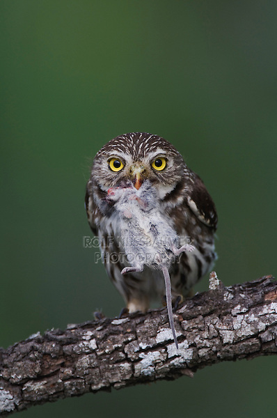 Ferruginous Pygmy-Owl, Glaucidium brasilianum, adult with mouse prey, Willacy County, Rio Grande Valley, Texas, USA