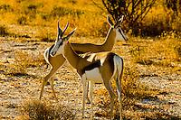 Springbok, Etosha National Park, Namibia