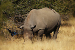 The Kruger National Park is the largest game reserve in South Africa and one of the world's biggest wildlife sanctuaries. , A Rhinoceros in the bush.  South Africa.   Wednesday  23rd June 2010. Photo: (Steve Christo)
