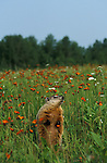 Groundhog or Woodchuck, Marmota monax, Minnesota, captive, in meadow, smelling the air.USA....