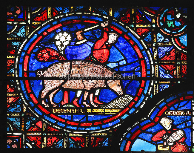 A pig eats a pile of acorns while a man prepares to hit it with an axe. The pork will be salted to last through the winter, section of November (the label 'December' is thought to be an error) from the Zodiac and the labours of the months stained glass window, 1217, in the ambulatory of Chartres Cathedral, Eure-et-Loir, France. This calendar window contains scenes showing the zodiacal symbol with its corresponding monthly activity. Chartres cathedral was built 1194-1250 and is a fine example of Gothic architecture. Most of its windows date from 1205-40 although a few earlier 12th century examples are also intact. It was declared a UNESCO World Heritage Site in 1979. Picture by Manuel Cohen