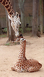 "CONTACT FILED:  HERMANN PARK ZOO-HOUSTON-ANIMALS..(ROLL 6) 10/8/02--Tufani, a 1 month old Masai Giraffe gets some ""motherly love"" from his mother ""Tyra"" at the Houston Zoo.  HOUCHRON CAPTION  (10/16/2002):  Stormy, left, getting a nudge from mom Tyra, is one zoo baby with no shortage of maternal care.  http://www.chron.com/cs/CDA/story.hts/features/1618655.."