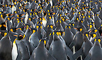 South Georgia Island, Salisbury Plain, king penguins (Aptenodytes patagonicus)