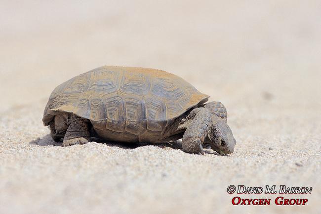 Desert Tortoise Licking Salt