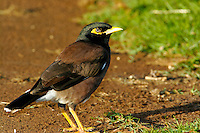 Common Mynah. Introduced to Hawaii from India. Common on all major islands.