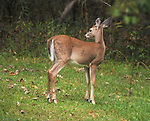 Deer seen on a hike in the Esopus Bend Nature Preserve, in Saugerties, NY, on Thursday, September 21, 2017. Photo by Jim Peppler. Copyright/Jim Peppler-2017.