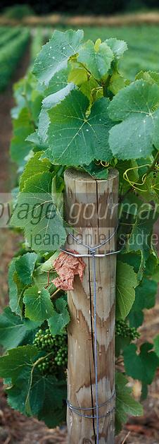 Europe/France/Champagne-Ardenne/51/Marne/Ay: Champagne Jacquesson - Détail cépage Pinot Noir du vignoble Vauzelle Terme - Champagne de la vallée de la Marne