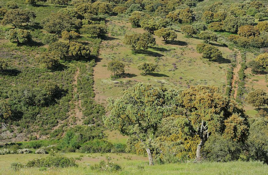 Dehesa forests with <br />  Holm oak (Quercus ilex) in Campanarios de Az&aacute;ba nature reserve, Salamanca Region, Castilla y Le&oacute;n, Spain