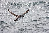 Common Guillemot (Uria aalge) Flying low over water, North Sea. They are expert swimmers and are a pursuit-diving marine bird diving to a maximum of between 170 to 230 metres. They fly low over water with a rapid wing beat.