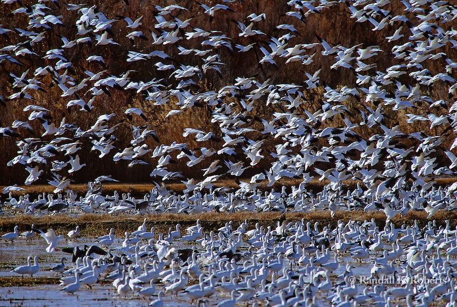 Snow geese fill the air in the late afternoon at Bosque del Apache National Wildlife Refuge near Socorro, New Mexico