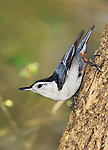 A Small, Cute Bird, The White Breasted Nuthatch, In A Typical Upside down Nuthatch Pose, Sitta carolinensis