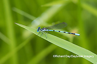06067-00108 Seepage Dancer (Argia bipunctulata) in fen Ripley Co. MO