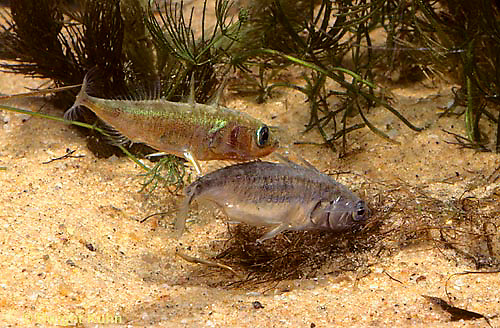 1S49-019z  Three Spined Stickleback - male prodding female's tail to start egg laying  - Gasterosteus aculeatus
