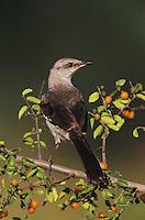 Northern Mockingbird, Mimus polyglottos, adult on Desert Hackberry (Celtis pallida), Willacy County, Rio Grande Valley, Texas, USA