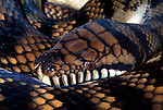 Amethystine Python, Morelia amethistine amethistine, snake, showing patterned skin, constrictor, .Australia....