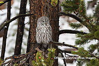 01128-00118 Great Gray Owl (Strix nebulosa) Yellowstone National Park, WY