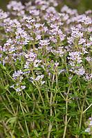 Echter Thymian, Römischer Quendel, Kuttelkraut, Gartenthymian, Garten-Thymian, Thymus vulgaris, common thyme, garden thyme
