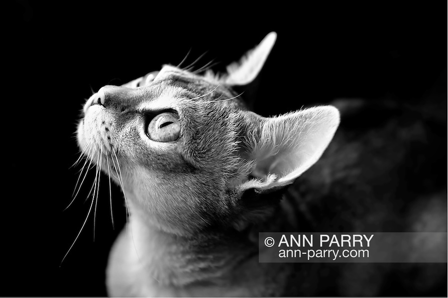 Singapura cat looking up, lit by available lighting from window, which is not in view. A pedigreed, purebred cat, Singapuras are small cats with large eyes and ears, and sepia agouti fut, affectionate and climbers.