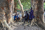 Maasai tribesmen meet under sycamore fig grove (Ficus sycomorus), Arusha, Tanzania<br /> The massive spread of the sycamore fig makes for excellent shade in hot climates. It is both an ornamental tree and orchard tree because of its delicious fruit. Not only is the tree mentioned in the Bible, but it is of great religious importance to the Kikuyu.