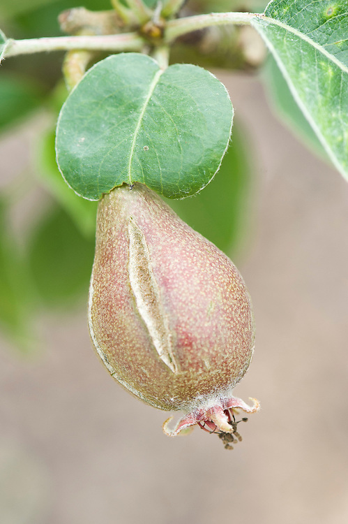 Lack of water at an early stage followed by a sudden growth spurt can cause the skin on pears to split and dry out. Rot may subsequently take hold. Split skin can also be associated with scab.