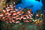 Diver and soldierfish (Myripristis jacobus) in a cavern on a reef in Soufriere marine reserve