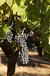 Wine grapes in Sonoma County.