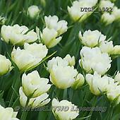 Gisela, FLOWERS, BLUMEN, FLORES, photos+++++,DTGK1922,#f#