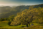 Oak trees and green hills in Spring, Sunol Regional Wilderness, Alameda County, California