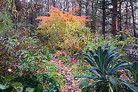 Kale Lacinata, Acer griseum, Acer palmatum, Hibiscus, Weigela, garden path with fallen foliage in autumn garden, trellis, rainbow chard vegetable
