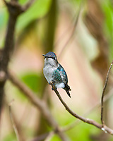 Bee Hummingbird (Mellisuga helenae), male in non-breeding plumage, perched. Guanahacabibes Peninsula, Cuba.