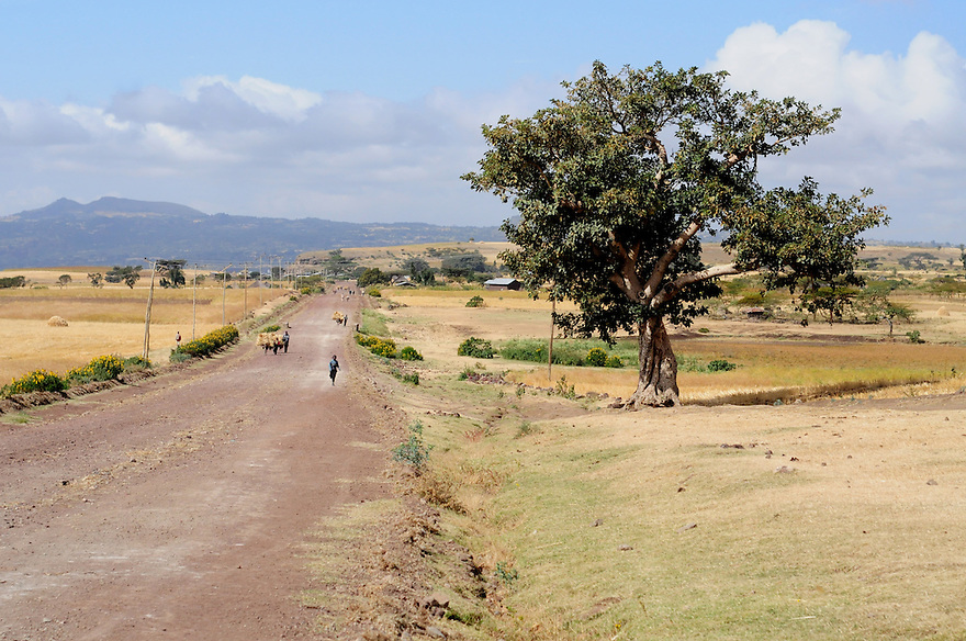 The FAO provides support to farms and farmers in the Oromiya region of Ethiopia to provide for crop diversification. .