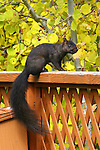 Black squirrel<br />