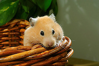 Syrian Hamster or Golden Hamster, Mesocricetus auratus.....Copyright..John Eveson, Dinkling Green Farm, Whitewell, Clitheroe, Lancashire. BB7 3BN.01995 61280. 07973 482705.j.r.eveson@btinternet.com.www.johneveson.com