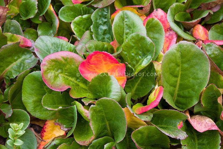 Bergenia in autumn foliage need id