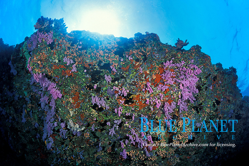 soft corals growing on underside of ledge, Fairy Thila, near Helengeli, Maldives (Indian Ocean)