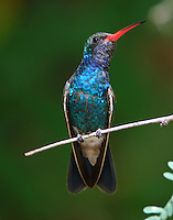 Adult male broad-billed hummingbird