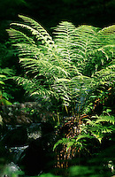 Wurmfarn, Dryopteris spec., Male Fern