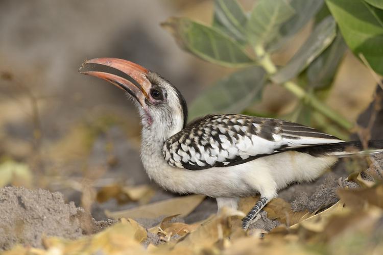 Western Red-billed Hornbill - Tockus kempi <br /> aka red-billed hornbill Tockus erythrorhynchus