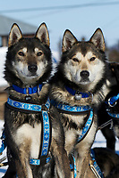 Karin Hendrickson lead dogs Aberdeen (L) and Chase wait patienlty and attentively at the Shageluk village checkpoint shorlty after Karin arrived on Friday afternoon during the 2011 Iditarod race.
