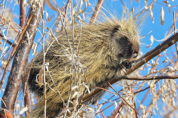 North American porcupine (Erethizon dorsatum)--also known as the Canadian porcupine or common porcupine--up in bushy tree.  Western U.S., late fall.