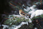 American Goldfinch perched in a snowy conifer.