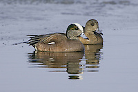 American Wigeon pair swimming in some icy water