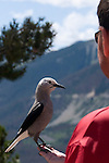 visitor, bird, Clark's Nutcracker, don't feed animals, Farview Curve, August, summer, afternoon, Trail Ridge Road, above Kawuneeche Valley, Rocky Mountain National Park, Colorado, USA