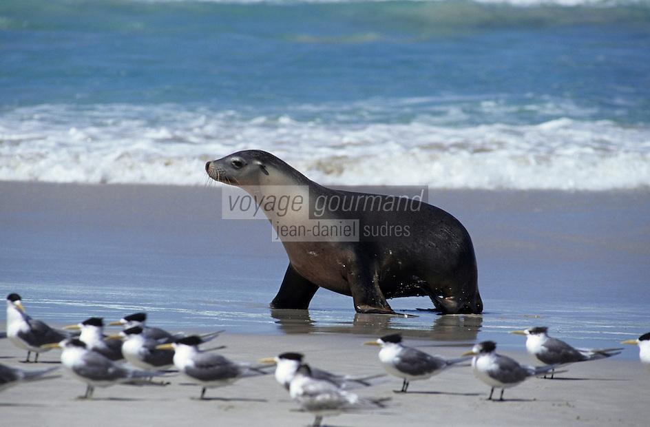"""Océanie/Australie/South Australia/Australie Méridionale/Ile Kangaroos/Seal Bay: Phoques """"Sea Lions"""", Lion de mer Australien"""