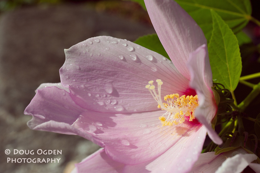 A pink Hibiscus after rain