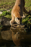 Mountain Lion looking at it's reflection in a creek in Yosemite, Calif.