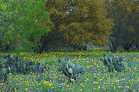 Wildflower field with Texas Prickly Pear Cactus (Opuntia lindheimeri) Huisache tree (Acacia farnesiana) Squaw Weed (Senecio ampullaceus)Texas Bluebonnet (Lupinus texensis),Three Rivers, Live Oak County, Texas, USA