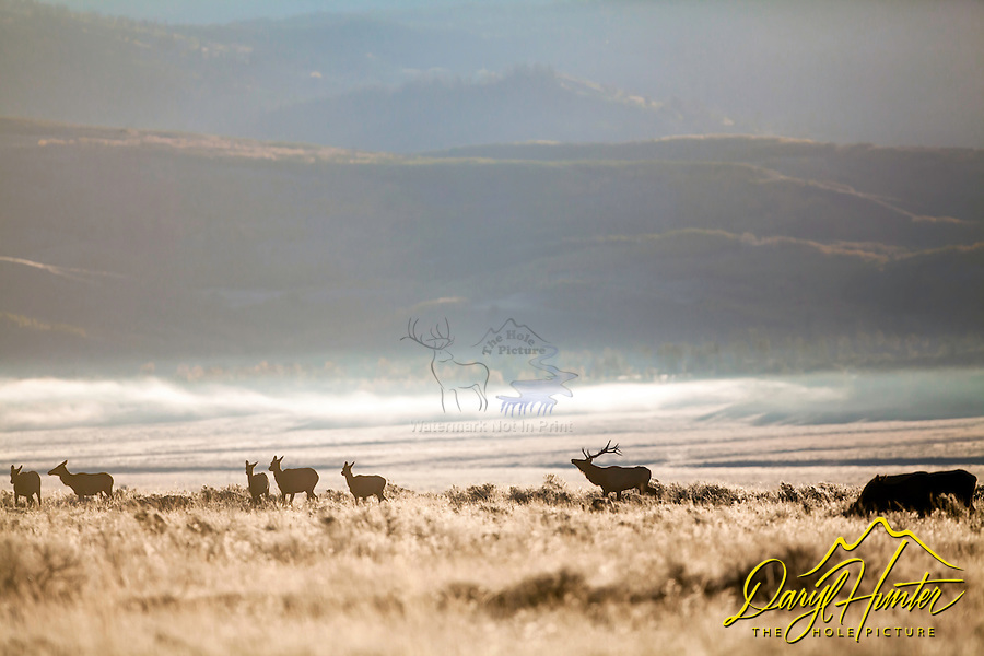 A bull elk herding his harem during the elk rut in Jackson Hole Wyoming