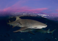 RW3550-D. Lemon Sharks (Negaprion brevirostris) swimming just under the surface at sunset. Bahamas, Atlantic Ocean.<br /> Photo Copyright &copy; Brandon Cole. All rights reserved worldwide.  www.brandoncole.com