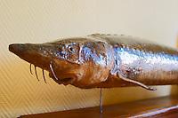 """A stuffed full grown sturgeon  """"Caviar et Prestige"""" Saint Sulpice et Cameyrac  Entre-deux-Mers  Bordeaux Gironde Aquitaine France - at Caviar et Prestige"""